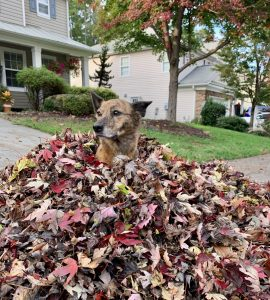 Brown dog sitting in a pile of leaves.